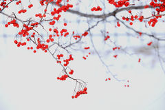 Winter berry in snow West Point Stock Image