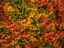 Winter berry tree with many orange and yellow berries. stock photography
