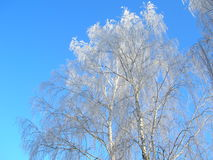 Winter birch. Hoar-frosted trees in early winter morning Stock Photo