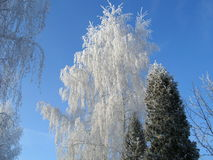 Winter birch. Hoar-frosted trees in early winter morning Stock Photography