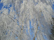 Winter birch. Hoar-frosted trees in early winter morning Stock Photos