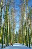 Winter birch alley Royalty Free Stock Photos