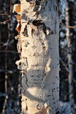 Winter birch bark Royalty Free Stock Images