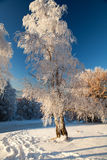 Winter birch in Buzludja, Bulgaria Royalty Free Stock Photo