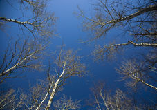 Free Winter Birch Canopy Into Blue Sky Stock Photography - 8976802