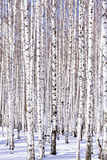Winter birch forest Stock Photos