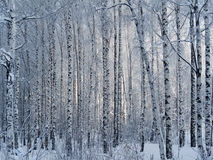 Winter birch forest Stock Photos