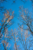 Winter birch forest. Clear sky Royalty Free Stock Photography