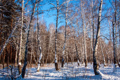 Winter birch forest. Clear sky Royalty Free Stock Images