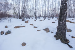 Winter birch forest Royalty Free Stock Images