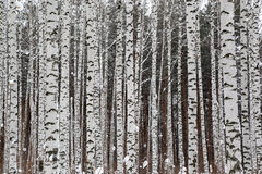 Winter birch forest royalty free stock image