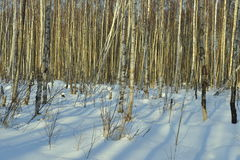 The Winter birch forest Stock Image