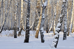 Winter birch forest. Royalty Free Stock Photo