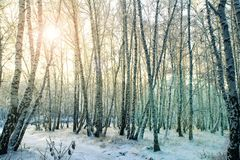 Winter birch forest in Russia stock photo