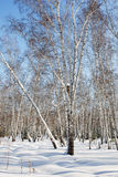 Winter birch forest. Snowing winter background. Royalty Free Stock Photos