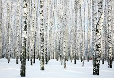 Winter birch forest Stock Image