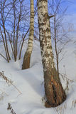 Winter birch forest, tree, snow, nature, spring Royalty Free Stock Photos