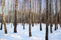 Winter birch grove Stock Photography
