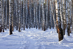 Winter birch grove Stock Photo