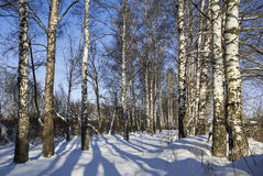 Winter birch grove with alley in sunny day. Russia. Stock Image