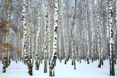 Winter birch grove with covered snow trunks Royalty Free Stock Photography