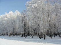 Winter birch grove Stock Photography