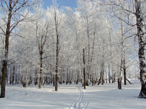 Winter birch grove. Winter landscape of a birch-wood covered with frost and a ski track on the snow Stock Photo