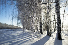 Winter frost on birch Royalty Free Stock Images