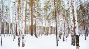 Winter birch grove. In the Russian forest Royalty Free Stock Image
