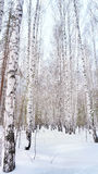 Winter birch grove. In the Russian forest Royalty Free Stock Images
