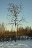 The Winter birch Royalty Free Stock Image