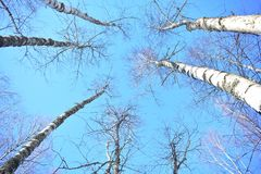 In winter birch the most beautiful tree branches intertwine against the blue sky and look like a light, delicate lace. Even an old birch with a curved trunk stock images