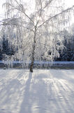 Winter birch tree Royalty Free Stock Photos