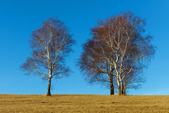 Winter birch tree on blue sky. Royalty Free Stock Photos