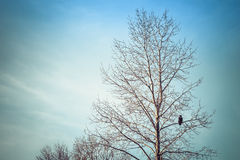 Winter Birch Tree with Eagle Stock Photos