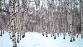 A winter birch tree forest Stock Photos