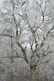 Winter birch Royalty Free Stock Photos