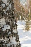 Winter birch tree trunk Stock Photography