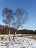 Winter birch trees Royalty Free Stock Images