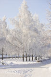Winter birch trees alley Royalty Free Stock Photos