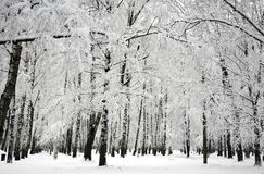 Winter birch trees Royalty Free Stock Image