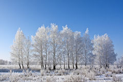 Winter birch Stock Image