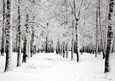 Winter birch trees in spring april day Stock Image
