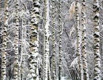 Winter birch trunks Stock Image
