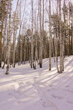 Winter Birch Wood Royalty Free Stock Photo