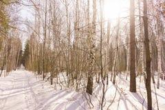 Winter Birch Wood Stock Image