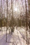 Winter Birch Wood Royalty Free Stock Image