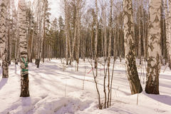 Winter Birch Wood Stock Photos