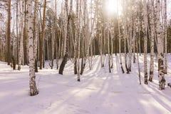 Winter Birch Wood Stock Photo