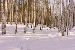 Winter Birch Wood Royalty Free Stock Photography